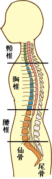 背骨と神経の伝達(イメージ)
